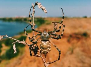 Диковинного паука запечатлел на видео турист посетивший Волжский