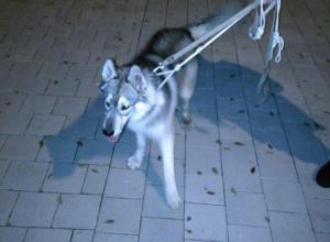 Массовое бегство собак породы «хаски» заметили волжане