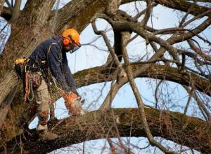 Волжане пожаловались на вырубку тополей-долгожителей