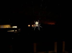 Волжанку напугал огромный паук около ее окна