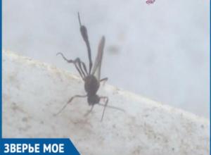 Таинственное насекомое с большим жалом испугало волжанку