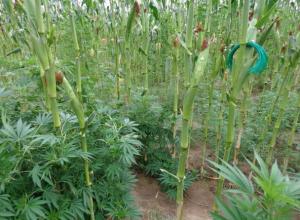 Краснослободцам, растившим коноплю с кукурузой, снизил срок облсуд