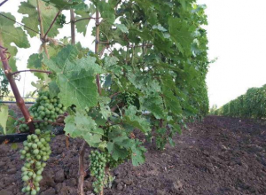 «Вилла София» приглашает волжан на дегустацию в виноградную усадьбу