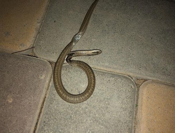 Волжанка обнаружила опасную змею в Киляковке
