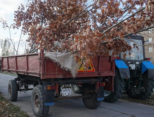 В Волжском появилась аллея краснолистных дубов