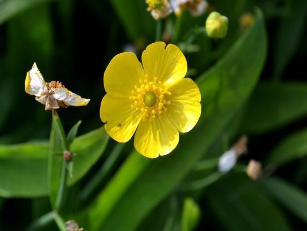 Редкое растение из Красной книги поселилось на территории Средней Ахтубы