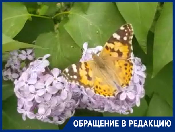 «Волжане удивлены нашествием красивых бабочек на сирени», - волжанин