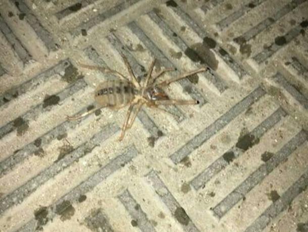 Волжанин встретил гигантского «зубастого» паука-сольпугу