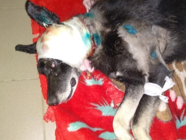 Рядом с волжским приютом нашли изувеченного пса