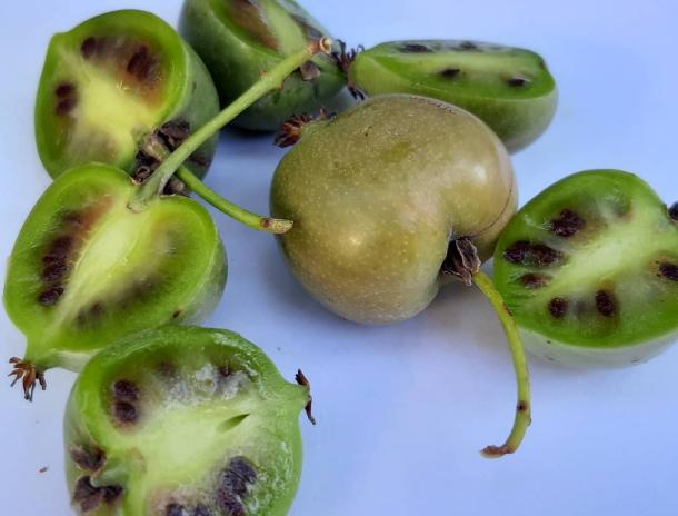 В волжском ботаническом саду ягодная лиана дала чудо-плоды