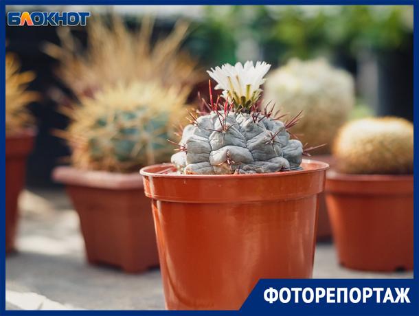 В Волжском выставка редких кактусов подошла к концу