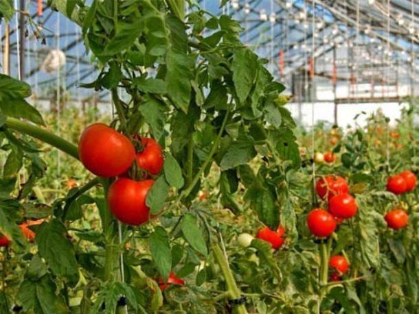 В Средней Ахтубе появился редкий томатный вредитель