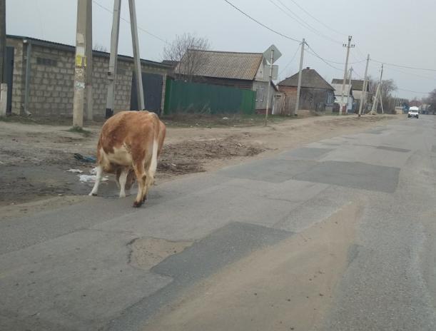 В Краснослободске искали хозяина коровки