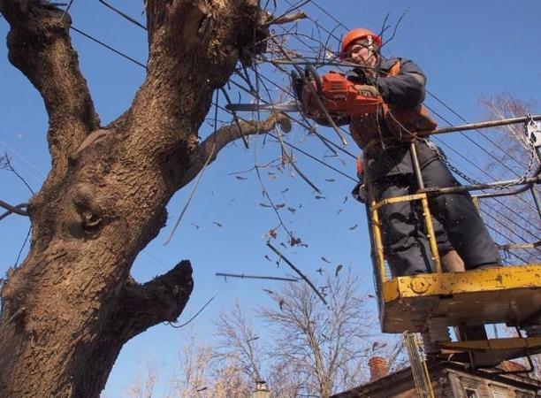 В Волжском снесут деревья-долгожители