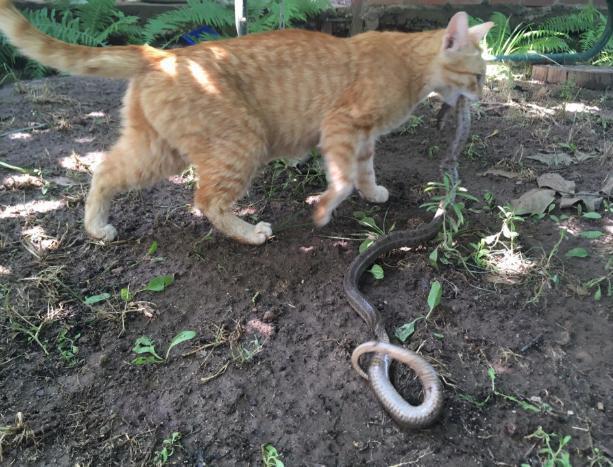 Кошка-крысолов рядом с домом волжан поймала змею