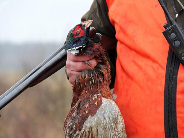 Волжанам разрешили охотиться на фазана