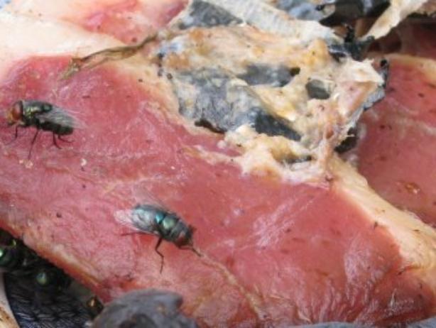 Волжан кормят колбасой из протухших продуктов