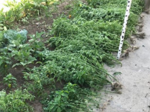 Волжанин на грядке выращивал коноплю