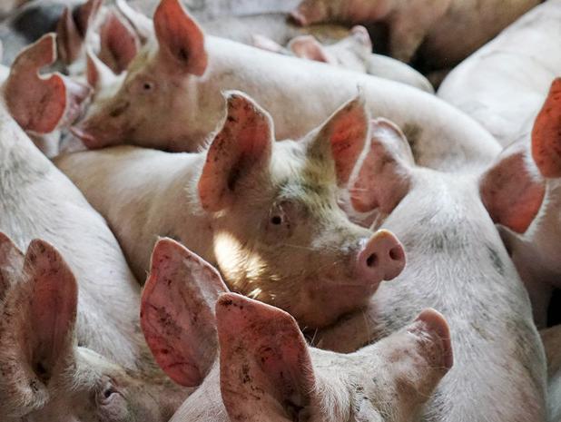 Волжане могут приобрести зараженную свинину