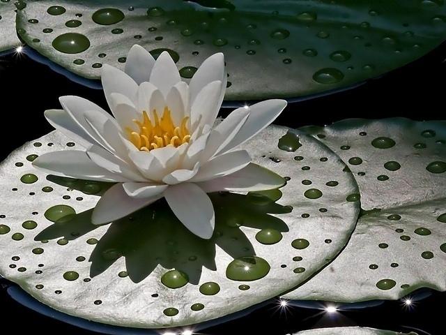 водяной лилии