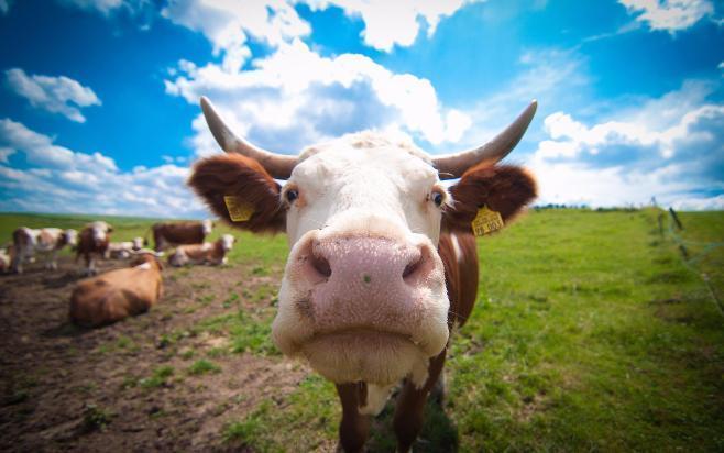 Похититель 6-ти коров ителят схвачен вВолгоградской области