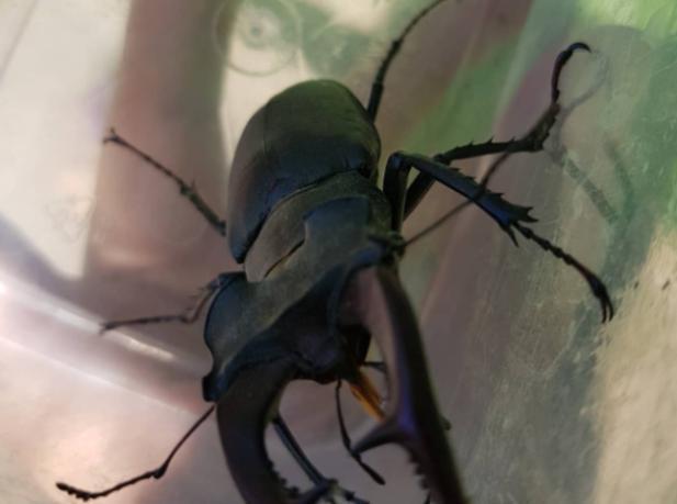 Краснокнижного жука-оленя обнаружила волжанка