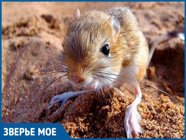 Волжане видели мохноногого тушканчика в Голубинских песках