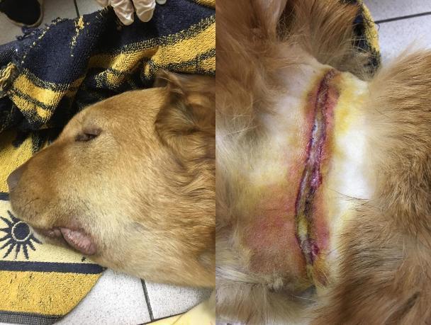 Собака с проволокой на шее вынашивала мертвых щенков в Волжском