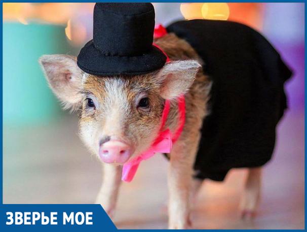 Волжанка завела свинью «ради коммерции»