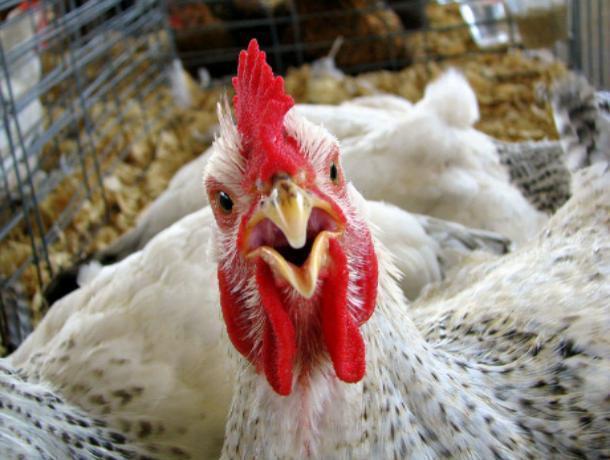 Жительница Средней Ахтубы пожаловалась на «копеечные» зарплаты на Волжской птицефабрике