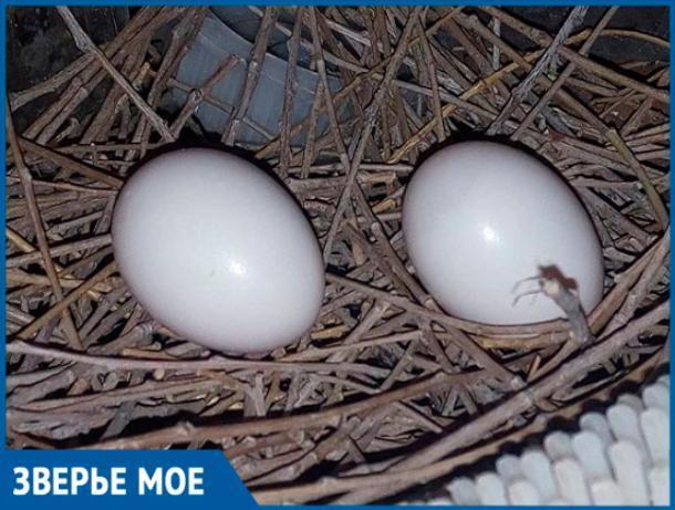 Волжанка нашла на балконе голубиные яйца